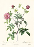 Old illustration of Rosa cimmamomea majalis. Created by P. R. Redoute, published on Les Roses, Imp. Firmin Didot, Paris, 1817-24 - 166335474