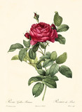 Old illustration of Rosa gallica pontiana. Created by P. R. Redoute, published on Les Roses, Imp. Firmin Didot, Paris, 1817-24 - 166337473