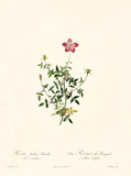 Old illustration of Rosa indica pumila (flore simplici). Created by P. R. Redoute, published on Les Roses, Imp. Firmin Didot, Paris, 1817-24 - 166338450