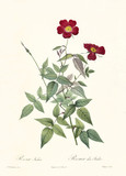 Old illustration of Rosa indica. Created by P. R. Redoute, published on Les Roses, Imp. Firmin Didot, Paris, 1817-24 - 166339219