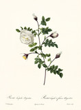 Old illustration of Rosa ispida argentea. Created by P. R. Redoute, published on Les Roses, Imp. Firmin Didot, Paris, 1817-24 - 166339249