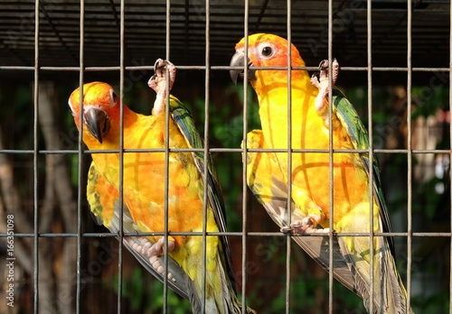 Yellow parrot in the cage