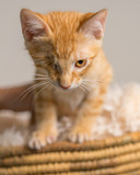 Young yellow domestic shorthair cat kitten with one eye in basket looking determined ready