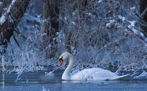 Mute Swan. Cygnus olor.