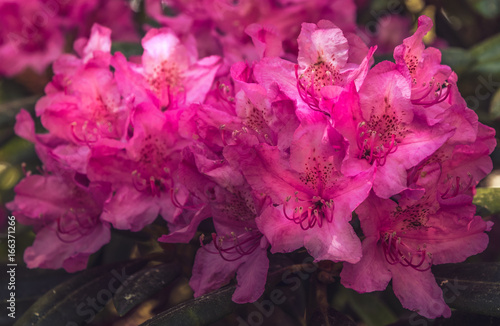 Natural view of colorful bright pink azalea flowering in the garden under natural sunlight at sunny summer or spring day. Close up bright pink azalea flowers background in morning nature