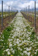 Pusteblumen (Taraxacum officinale) zwischen Weinreben