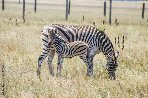 Fototapeta Zebra with foal