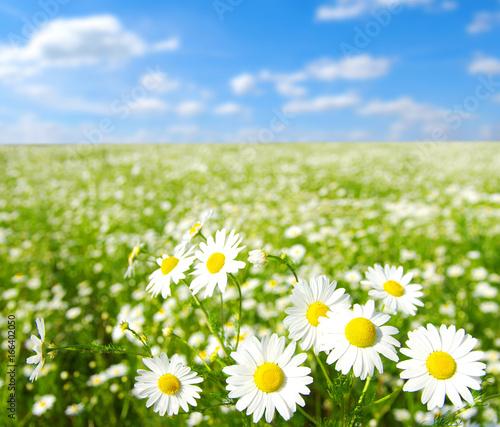 field of daisy flowers © Sirius125