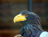 Widok portretu orła morskiego steller.