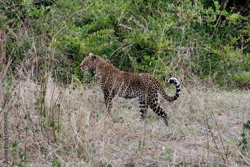 Fototapeta Leopard Kenya Africa savannah wild animal cat mammal