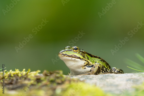 European green frog sitting on a rock facing left with vegetation in the blurred background