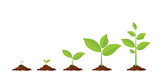 Phases plant growing. - 166423201