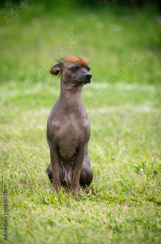 Peruvian hairless dog Poster