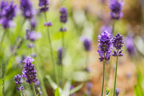 Blooming lavender flowers on the field in a sunny day