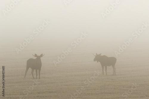 Moose bulls on a stubble field in autumn fog