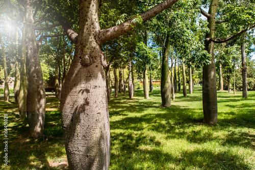 Baobab Bäume im Turia Park in Valencia im Gegenlicht