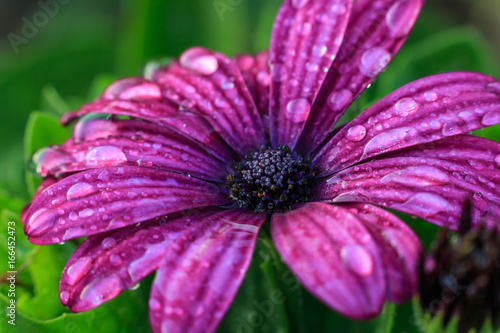 Violet gerbera flower on white isolated background with clipping path.