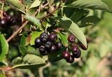 aronia berries on bush in a garden