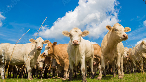 Aluminium herd of brown cows on the green pasture with blue sky in summer