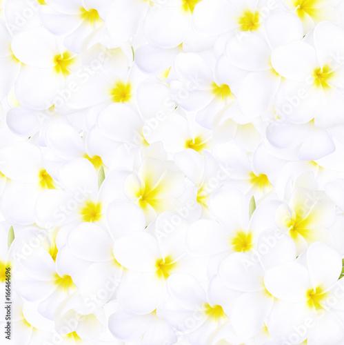 white frangipani tropical flower, plumeria flower blooming on white background