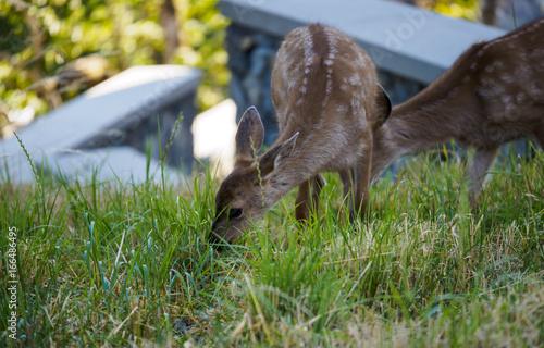 Couple of Fawns enjoying the green grass плакат