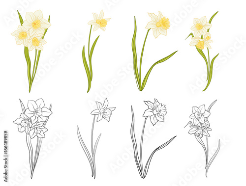 In de dag Bloemen Narciss flowers. Set of colored and outline flowers. Stock line vector illustration.