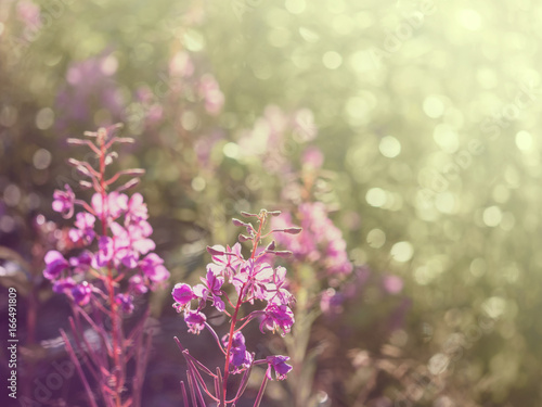 Flowers of fireweed in the soft sunlight of the early morning, image with bokeh Poster