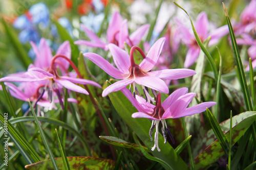 Erythronium sibiricum lub syberyjska lilia płocha lub pstrąg syberyjski