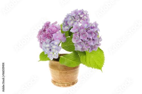 Aluminium Hydrangea Hydrangea flowers in a pot