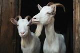 Steep goats - 166513808