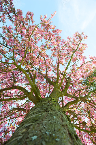 Foto op Plexiglas Magnolia japanese cherry tree against blue sky, Paris, France