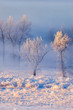 Hoarfrost covered trees in early morning light
