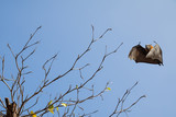 Bare tree with flying fox - 166533022