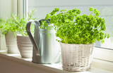 fresh parsley herb in white pot on window - 166570086