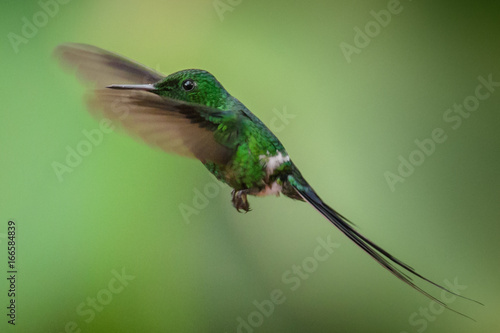 Hummingbird (Trochilidae) Latające klejnoty