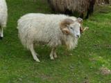 Widder Schaf auf einer Weide - 166597058
