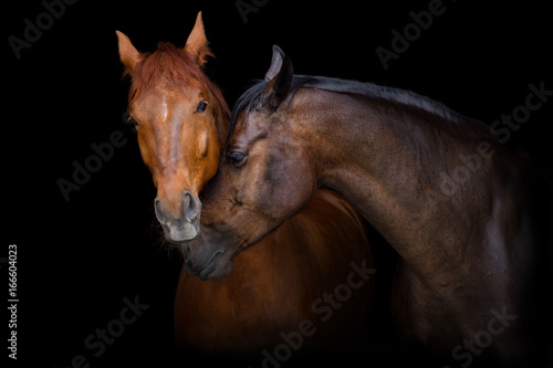 Two horse portrait on black background. Horses in love - 166604023