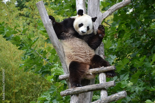 Fototapeta Panda géant sur échelle