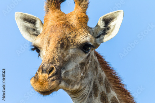 Giraffe Head Portrait