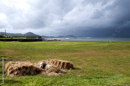 Dog sitting amongst bales of hay with dark clouds in the distance