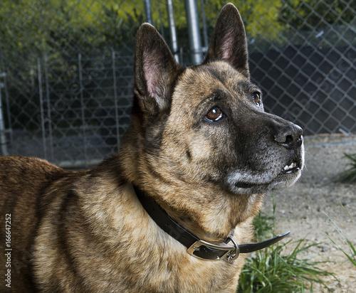 Fototapeta German Shepherd Mix Dog Looking Up