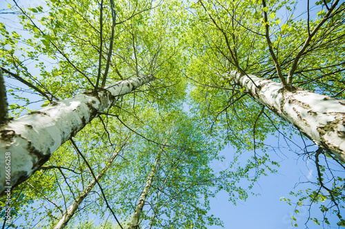 Aluminium Berkenbos Wild birch forest