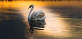 Biały łabędź unoszący się nad powierzchnią jeziora