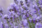 Lavendel - 166680428