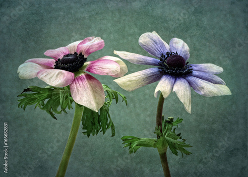 Poster Anemone