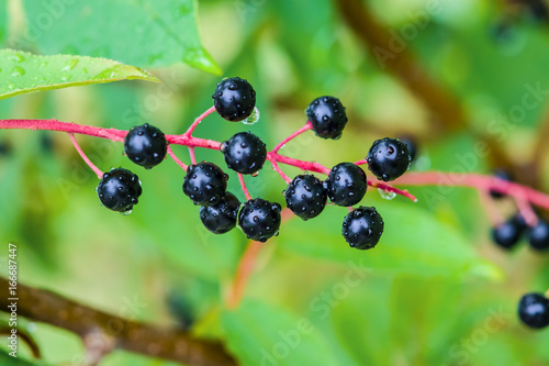 Forest shrub cherry with ripe black berries, rain drops, closeup, summer, landscape, horizontal