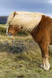 Portret brązowy Islandia Pony