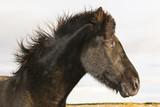 Portret Czarnej Islandii Pony
