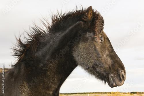 Portrait of an black Iceland Pony