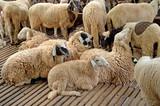 Sheep in farm - 166688487